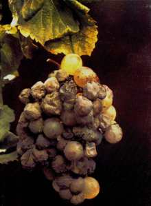 Grapes exhibiting noble rot (from Ch. Grand Peyrot)