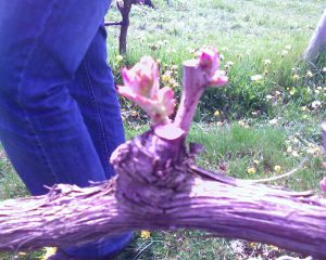 Early budbreak at Shinn Estate