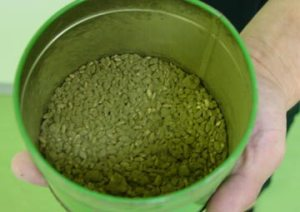 Koji mold growing on steamed rice.  Image from Sakayanyc.com