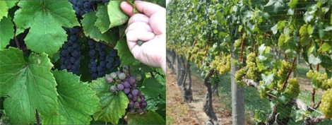 Sun exposure can do wonders for grapes and the wines that they produce!